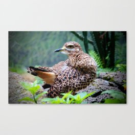 Spotted Dikkop Canvas Print