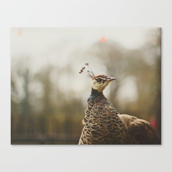 Little Miss Peahen Canvas Print