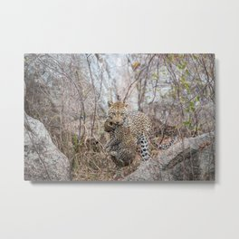 Mother Leopard carrying baby cub Metal Print