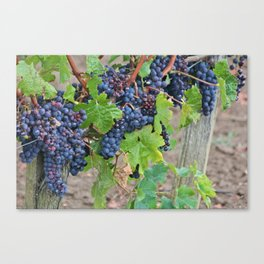 The Harvest-Bordeaux 2013 Canvas Print