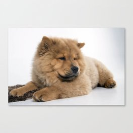 Chow Chow Chilling Canvas Print