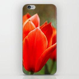 Tulips in spring iPhone Skin