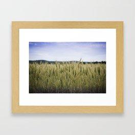 Grain Almost Ready For Harvest Framed Art Print