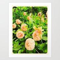 Peaches and Cream Dahlias Art Print