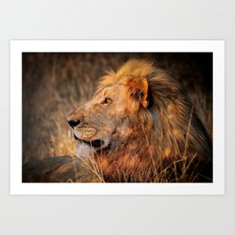 Lion in the evening light, South Africa Art Print