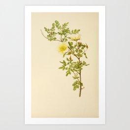 Burnet Rose, rosa spinosissima61 Art Print