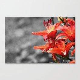Orange Lily Flower Blossom, Lilium Digital Photography Close up, Black and White Background Canvas Print
