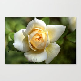 Simply the rose... Canvas Print