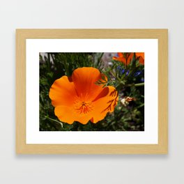 Brilliant California Poppy Framed Art Print
