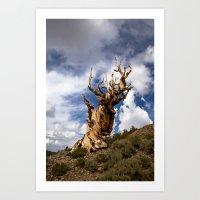 Ancient Bristlecone Pine Art Print