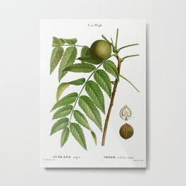 Black walnut, Juglans nigra from Traité des Arbres et Arbustes que l'on cultive en France en pleine Metal Print