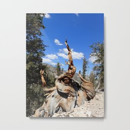 Ancient bristlecone tree Metal Print