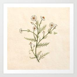 Chamomile Herb Art Print