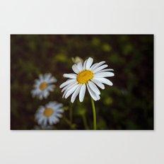 Daisy in the sun Canvas Print