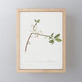 Flower of Plum (Fiore di Susina Settembrina) from Pomona Italiana (1817 - 1839) by Giorgio Gallesio Framed Mini Art Print