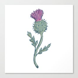 Scottish Thistle Drawing Canvas Print