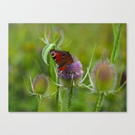 Peacock Butterfly on a Teasel Flower 3 Canvas Print