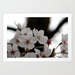 Sakura blossoms up close Art Print