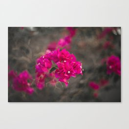 Bougie with the Bougainvillea Canvas Print