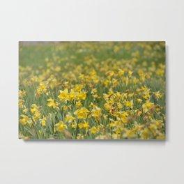 A field of Daffodils Metal Print
