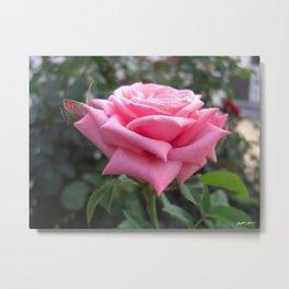 Pink Roses in Anzures 6 Metal Print
