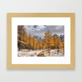 II - Larch trees in fall after first snow, Banff NP, Canada Framed Art Print