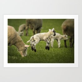 A Lamb with a Spring in Its Step Art Print