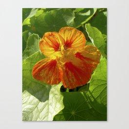 nasturtium bloom XI Canvas Print