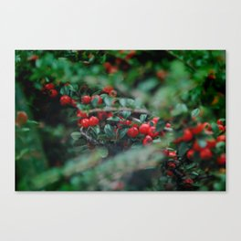 Cotoneaster Berries Canvas Print