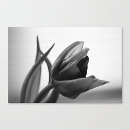 Tulip Blooming In Black And White Canvas Print