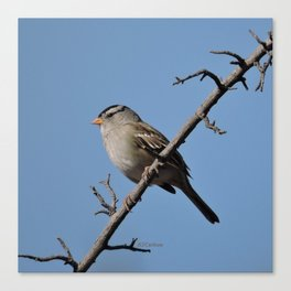A White-Crowned Sparrow Eyes the Botanic Garden Canvas Print