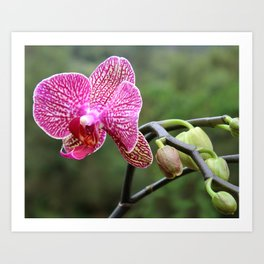 Mama Orchid Art Print