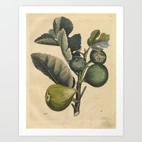 fig Art Prints featuring Fig by Connie Goldman