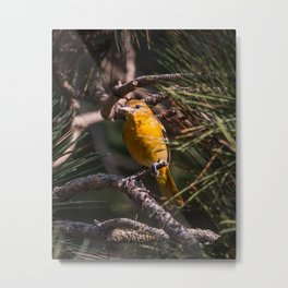 Morning Oriole Metal Print