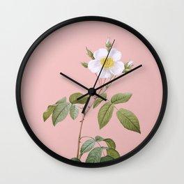 Vintage Big Leaved Climbing Rose Botanical Illustration on Pink Wall Clock