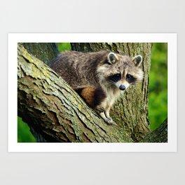 Raccoon - Treed Art Print