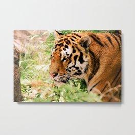 golden eyed tiger Metal Print