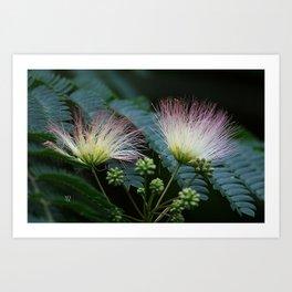 Mimosa Blossoms Art Print