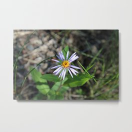 Arctic Aster in the Summertime Metal Print