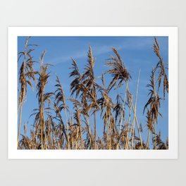 Reeds in Sunlight Art Print