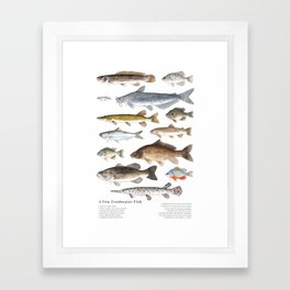 A Few Freshwater Fish Framed Art Print