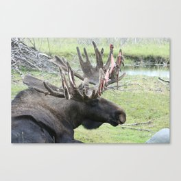 Alaskan Moose in velvet Canvas Print