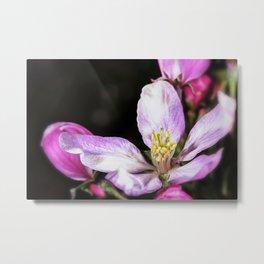 Close up of a Crab apple blossom Metal Print