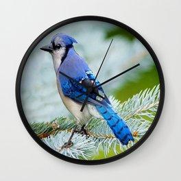 Blue Jay  in Winter Pine Tree Wall Clock
