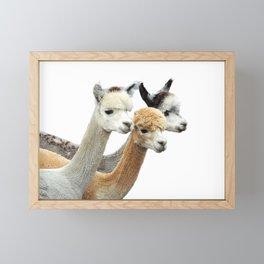 Alpaca Trio Framed Mini Art Print
