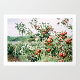 Red Apples In Orchard Tree Art Print