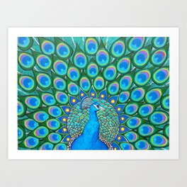 Showing My Colors - Peacock Art Print