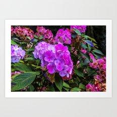 Pink Hydrangea Art Print