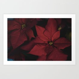 Poinsettias Art Print
