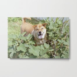 Playing in a fig tree Metal Print